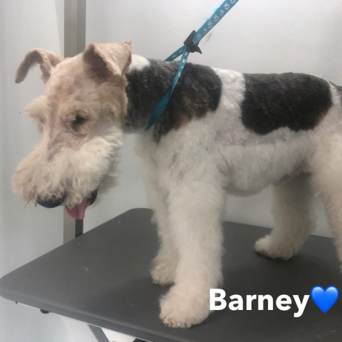 Pawgeous Mobile Dog Grooming - Barney