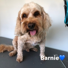 Pawgeous Mobile Dog Grooming - Barnie