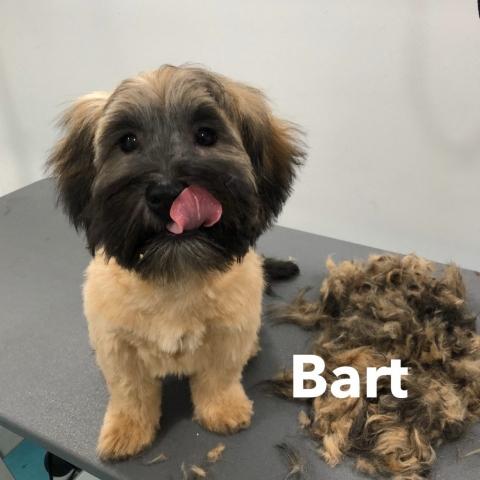 Pawgeous Mobile Dog Grooming - Bart