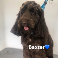 Pawgeous Mobile Dog Grooming - Baxter