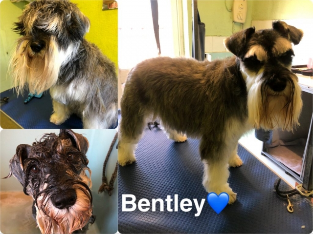 Pawgeous Mobile Dog Grooming - Bentley