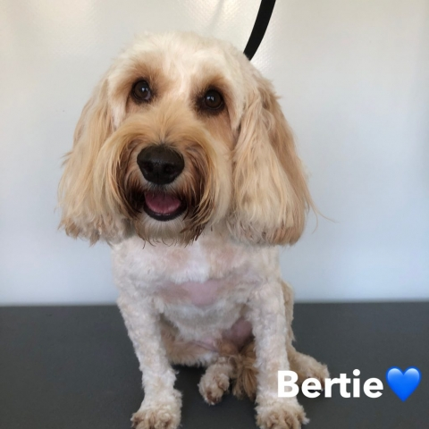 Pawgeous Mobile Dog Grooming - Bertie