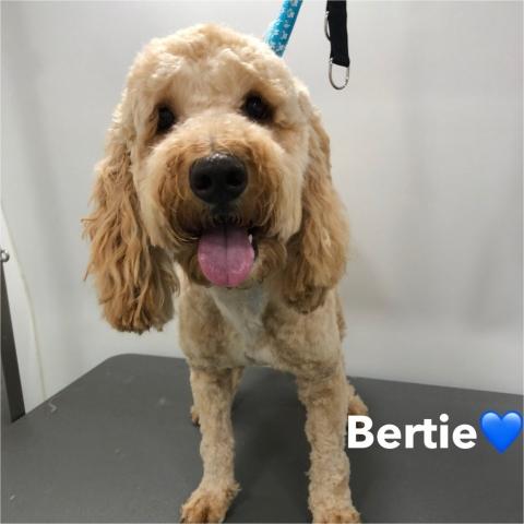 Pawgeous Mobile Dog Grooming - Bertie