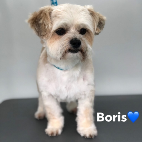 Pawgeous Mobile Dog Grooming - Boris