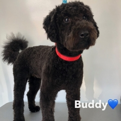 Pawgeous Mobile Dog Grooming - Buddy