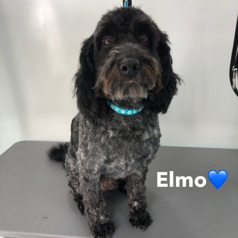 Pawgeous Mobile Dog Grooming - Elmo