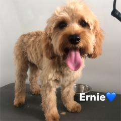 Pawgeous Mobile Dog Grooming - Ernie