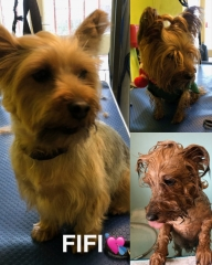 Pawgeous Mobile Dog Grooming - Fifi