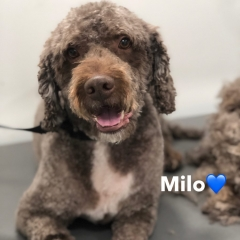 Pawgeous Mobile Dog Grooming - Milo