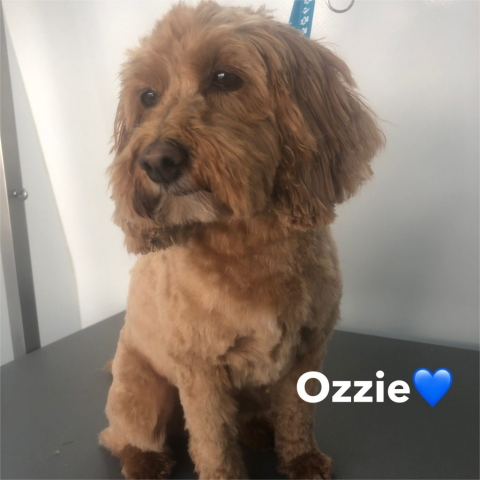 Pawgeous Mobile Dog Grooming - Ozzie