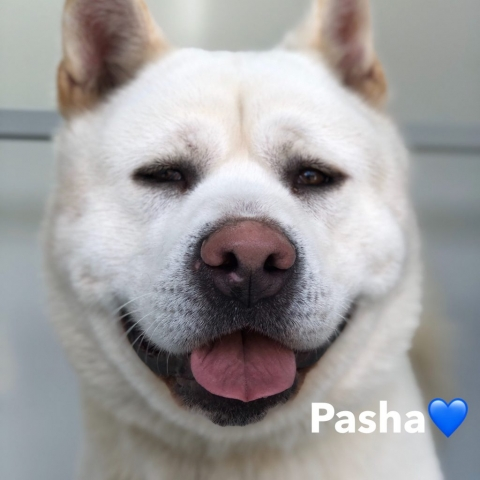 Pawgeous Mobile Dog Grooming - Pasha