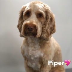 Pawgeous Mobile Dog Grooming - Piper