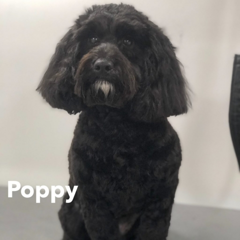Pawgeous Mobile Dog Grooming - Poppy