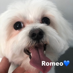 Pawgeous Mobile Dog Grooming - Romeo