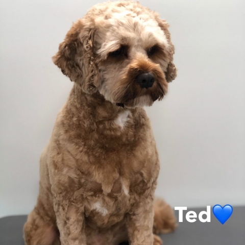 Pawgeous Mobile Dog Grooming - Ted