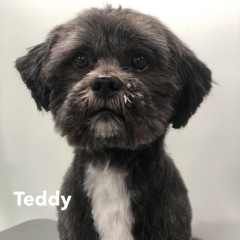 Pawgeous Mobile Dog Grooming - Teddy