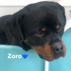 Pawgeous Mobile Dog Grooming - Zoro